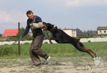 Inzercia psov: Doberman - štěňata s PP