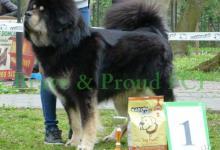 Inzercia psov:  Tibetská doga - Budúci otec je víťazom TDE 2013