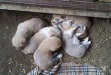 Inzercia psov: Predáme šteniatka Akita Inu