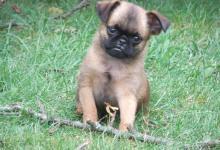 Inzercia psov: Brabantík - štěňata-psi