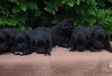 Inzercia psov: Německý špic velký černý prodám štěňata s PP