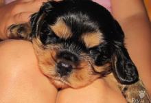 Inzercia psov: CHS Dagymery prodá štěňata kavalírků s PP