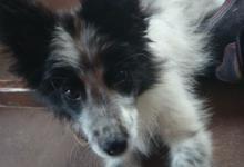 Inzercia psov: Darujem šteniatko nemeckého špica