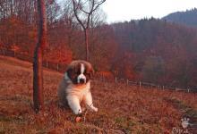 Inzercia psov:  Šteniatka s RODOKMEŇOM-PP- Moskovský strážny pes