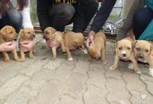 Inzercia psov: Predám štenatá Pitbula