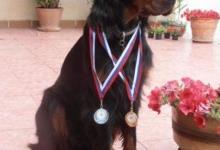 Inzercia psov: Gordon seter - šteniatka