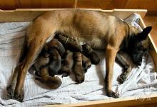 Inzercia psov: Belgický ovčák Malinois -štěňata s PP