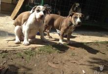 Inzercia psov: American Pit Bull Terrier - American Bully