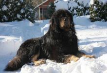 Inzercia psov: Tibetská doga s PP, štěňátka k rezervaci