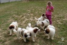 Inzercia psov: TORNJAK-PRVNÍ VRH V ČR