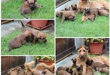Inzercia psov: Prekrásne šteniatka írskeho terriéra