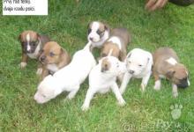 Inzercia psov: Ponúkam na predaj šteniatka staforda