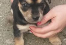 Inzercia psov: Darujem šteniatko sučky