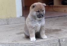 Inzercia psov: štěňata Shiba-Inu