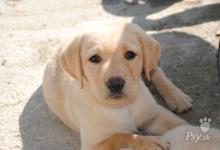 Inzercia psov: Šteniatka labradora čistokrvné bez PP
