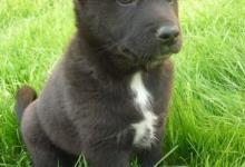 Inzercia psov: Rusko-europska lajka