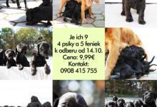 Inzercia psov: Šteniatka kokerspaniela na predaj