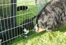 Inzercia psov: Štěňata Bernského salašnického psa s PP
