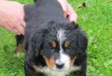 Inzercia psov: Bernský salašnický pes s PP