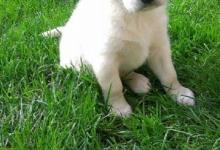 Inzercia psov: Darujem šteniatka