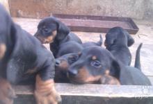 Inzercia psov: Predám hladkosrtých jazvečíkov