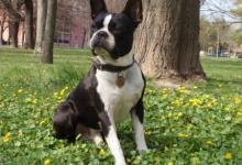 Inzercia psov: bostonský teriér na krytie