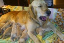 Inzercia psov: Predám najkrajšie šteniatka zlatého retrievera