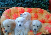 Inzercia psov: Predám 4 fenky zlatého retrievera