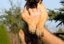 Inzercia psov: Nemecká doga žltá - šteniatka na predaj