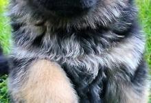 Inzercia psov: Nemecký ovčiak-šteniatka
