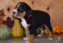 Inzercia psov: Appenzellský salašnický pes - štěňátka s PP