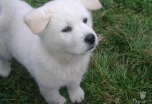 Inzercia psov: predám Akitu