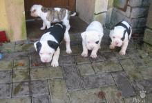 Inzercia psov: predám šteňatá americký buldog bull