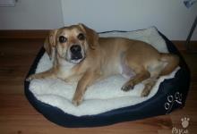 Inzercia psov: Darujem krásneho psika