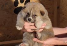 Inzercia psov: Akita Inu štěňátka s PP