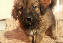 Inzercia psov: Šteniatka Hovavarta hľadajú nový domov