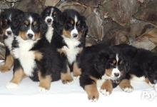 Inzercia psov: salašnický pes, bernský salašnický pes