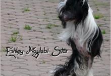 Inzercia psov: Čínský chocholatý pes