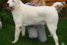 Inzercia psov: Stredoázijský ovčiak
