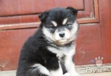 Inzercia psov: Laponský pastiersky pes prodaj