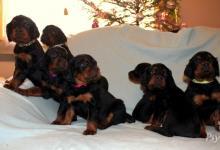 Inzercia psov: Štěňata gordonsetra s PP k odběru