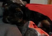 Inzercia psov: Malý yorkshir