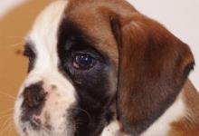 Inzercia psov: šteniatka boxerov na predaj
