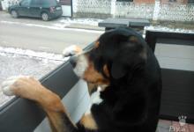 Inzercia psov: Ponukam psa na krytie
