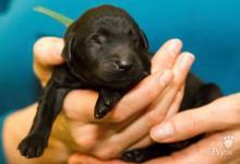 Inzercia psov: Štěňata flat coated retrievera