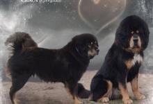 Inzercia psov: Tibetská doga s PP šteniatka