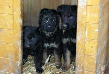 Inzercia psov: Německý ovčák - štěňata s PP