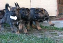 Inzercia psov  Šteniatko nemecký ovčiak s PP d2f55265c34