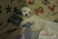 Inzercia psov: Maltézský psík na prodej