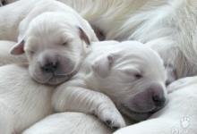 Inzercia psov: Zlatý retriever - šteniatka s PP